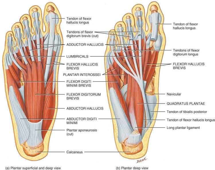Bonito Huesos Del Dedo Del Pie De La Anatomía Colección de Imágenes ...