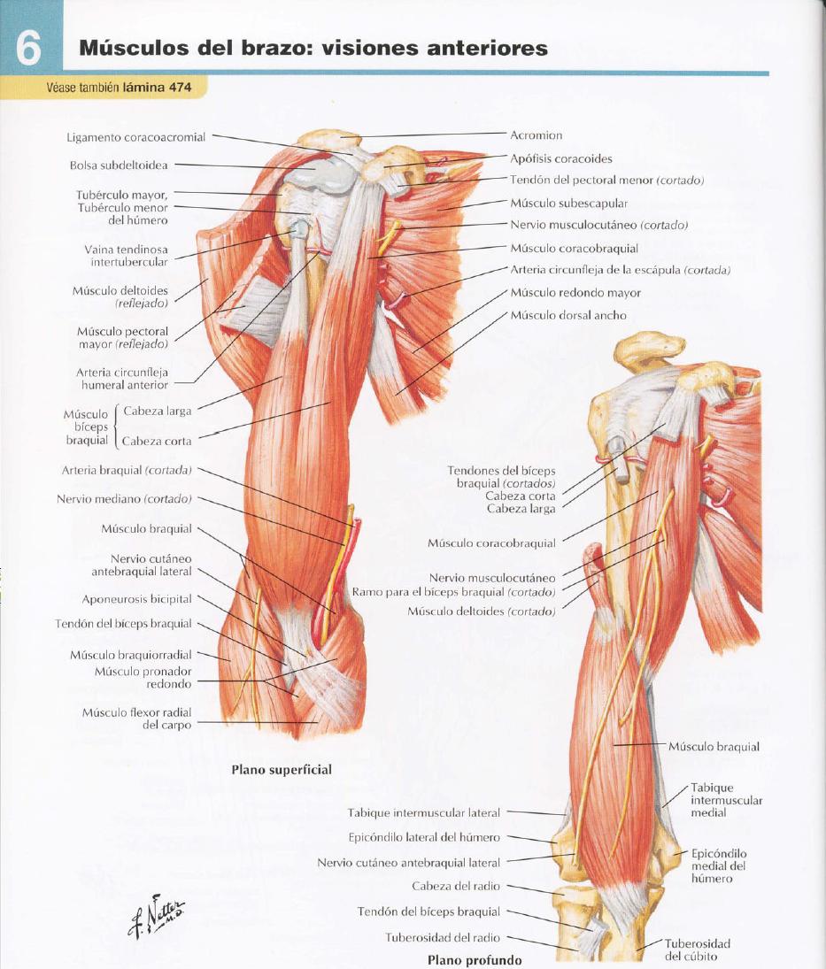Lujo Diagrama De Músculo Del Hombro Patrón - Imágenes de Anatomía ...